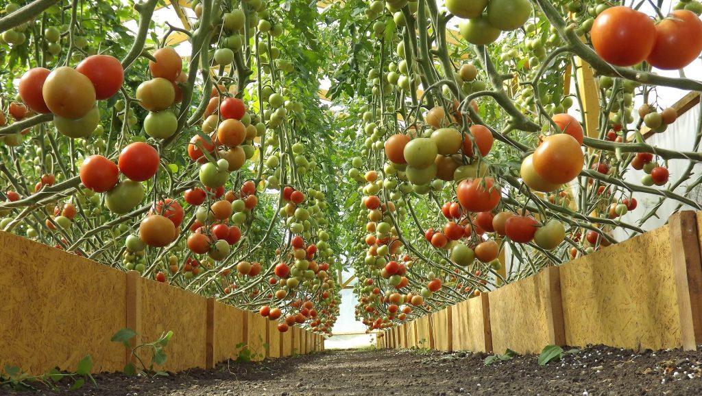 Открытка, секрет выращивания помидор прикольные картинки